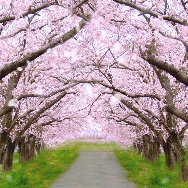 日本の道100選から抜擢! 満開の桜が咲き乱れるオススメの花見街道。