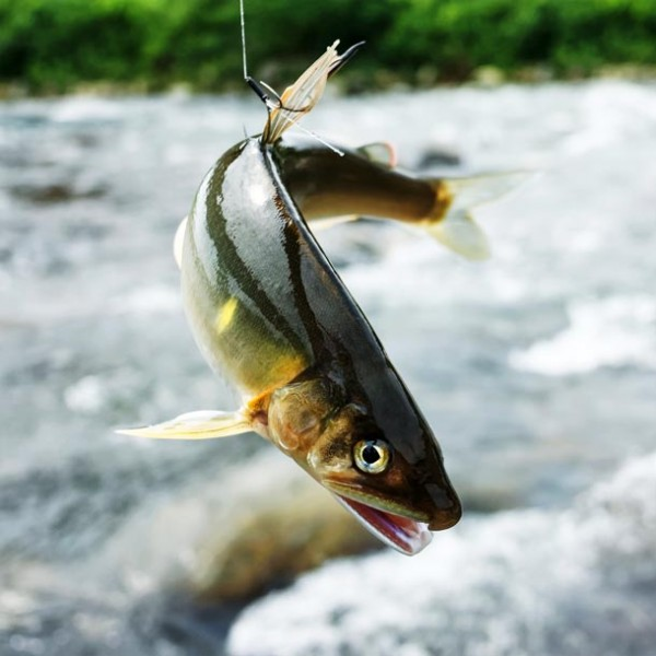 豊潤な夏の香りを食す。 こだわりの天然鮎を嗜める、都内の日本料理店 3選。