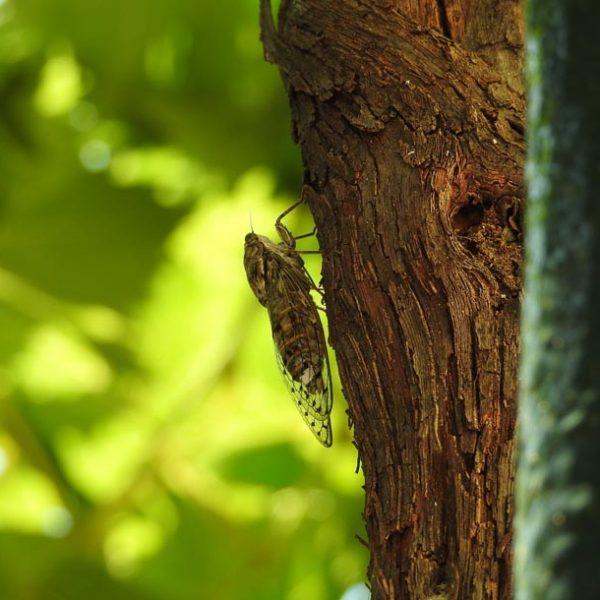 五月蠅いと思うのはモッタイない!…蝉しぐれに心洗われる「セミの鳴き声」
